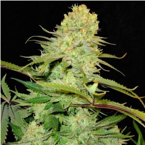 Blue Cheese Cannabis Seeds Feminized - Misty Canna Shop