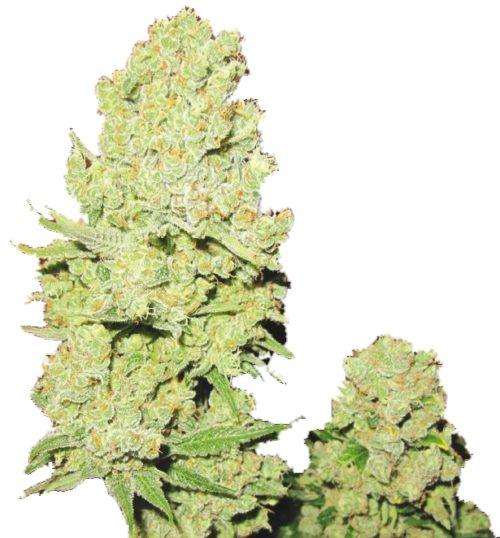 Channel Cannabis Seeds Feminized - Misty Canna Shop