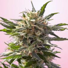 Crystal Cannabis Seeds Feminized - Misty Canna Shop