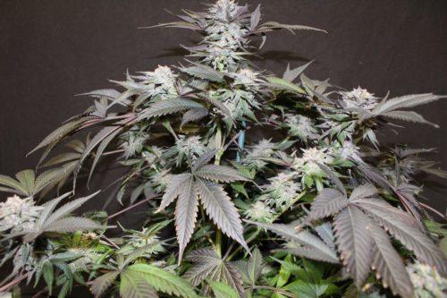 God Bud Cannabis Seeds Regular - Misty Canna Shop