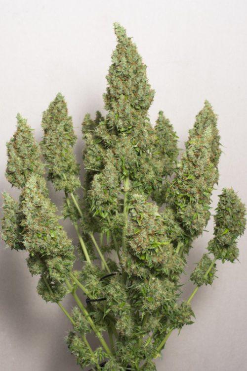 Mazar Cannabis Seeds Autoflower - Misty Canna Shop
