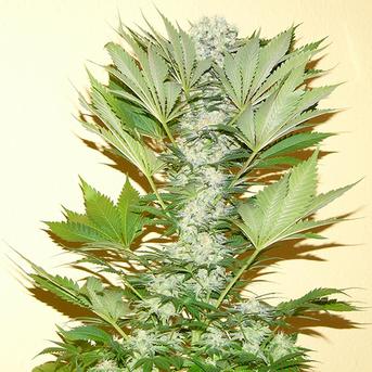 Misty Kush Cannabis Seeds Feminized - Misty Canna Shop