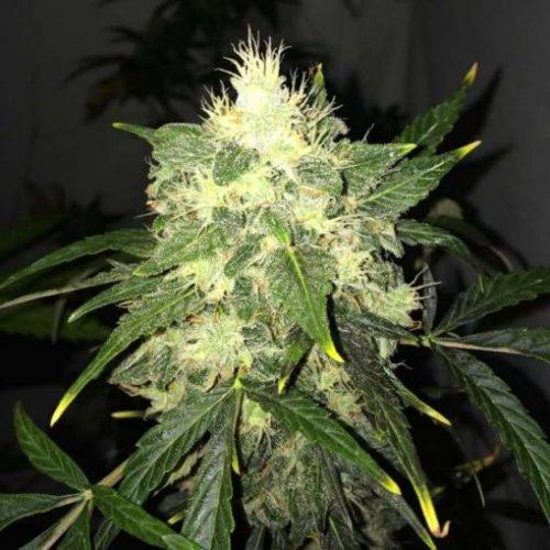 OG Kush Cannabis Seeds Autoflower - Misty Canna Shop