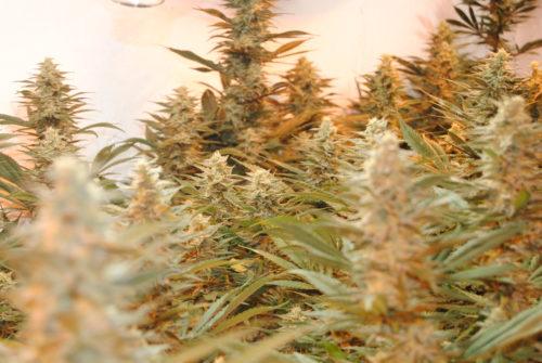 Power Plant Cannabis Seeds Feminized - Misty Canna Shop