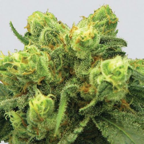 Pre-99 Big Bud Cannabis Seeds Feminized - Misty Canna Shop
