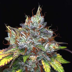 Purple Kush Cannabis Seeds Feminized - Misty Canna Shop