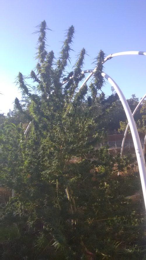 See Bee Dee Cannabis Seeds - Misty Canna Shop - OG Kush Seeds