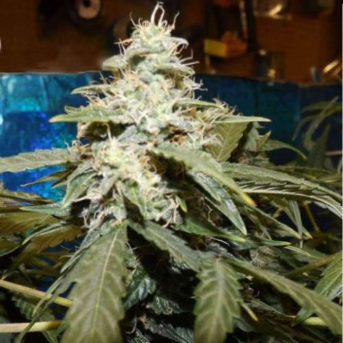 Short Rider Cannabis Seeds Autoflower - Misty Canna Shop