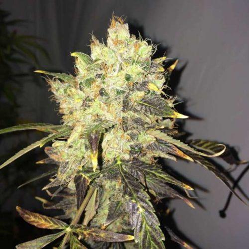 Supreme CBD Durban Cannabis Seeds Feminized - Misty Canna Shop