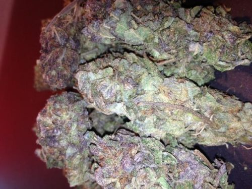 Purp Cannabis Seeds Regular - Misty Canna Shop